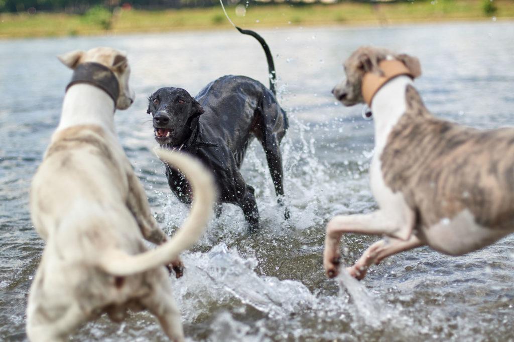 Drei Windhunde beim Spiel